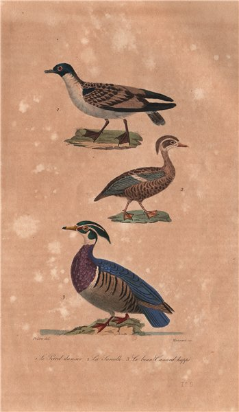 Associate Product BIRDS. Cape Petrel; Teal; American Wood Duck. Sarcelle. Canard. BUFFON 1837