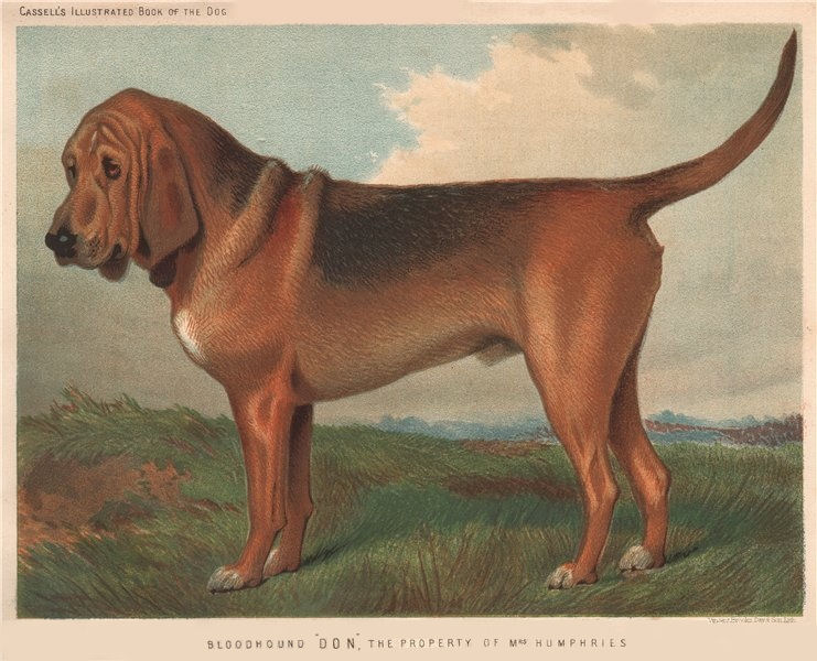 """Associate Product DOGS. Bloodhound """"Don"""", 1881 old antique vintage print picture"""