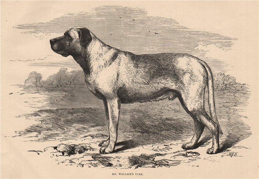 Associate Product DOGS. Mr. Wallace's Turk 1881 old antique vintage print picture