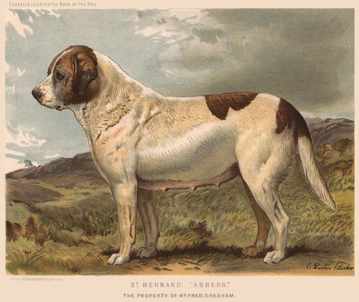 """Associate Product DOGS. St. Bernard, """"Abbess"""" 1881 old antique vintage print picture"""