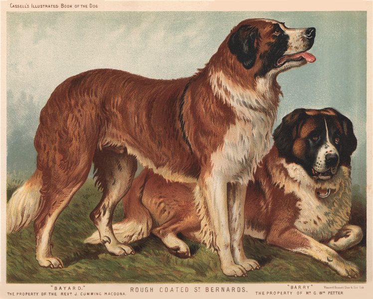 """Associate Product DOGS. Rough coated St. Bernards; """"Bayard."""" """" Barry"""" 1881 old antique print"""