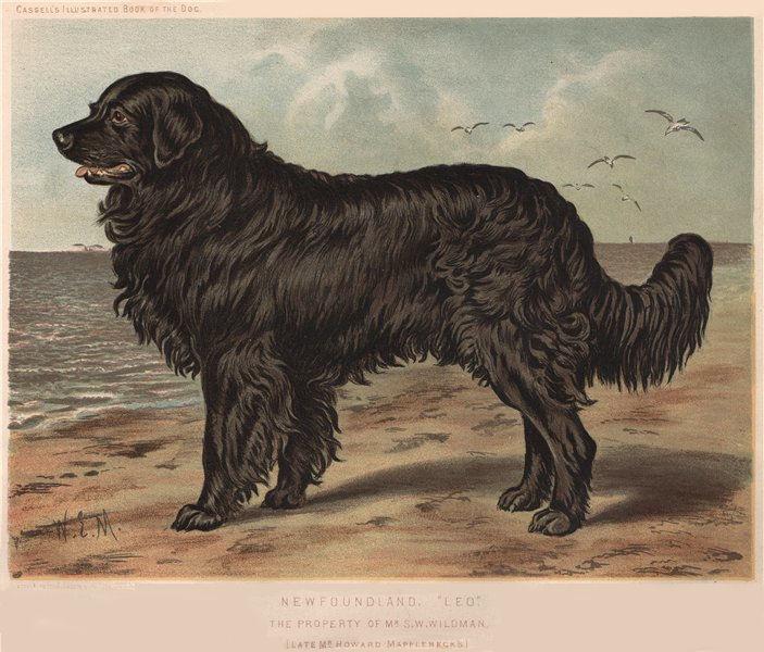 "Associate Product DOGS. Newfoundland, ""Leo"" 1881 old antique vintage print picture"
