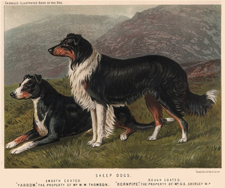 """Associate Product DOGS. Sheep Dogs; Smooth Coated """"Yarrow"""" 1881 old antique print picture"""