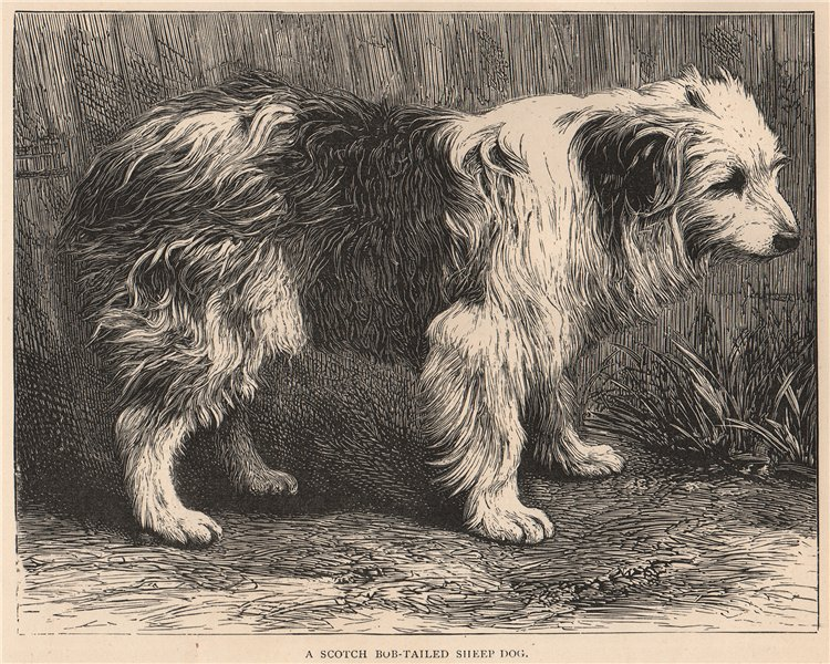 Associate Product DOGS. A Scotch bob-tailed Sheep Dog 1881 old antique vintage print picture