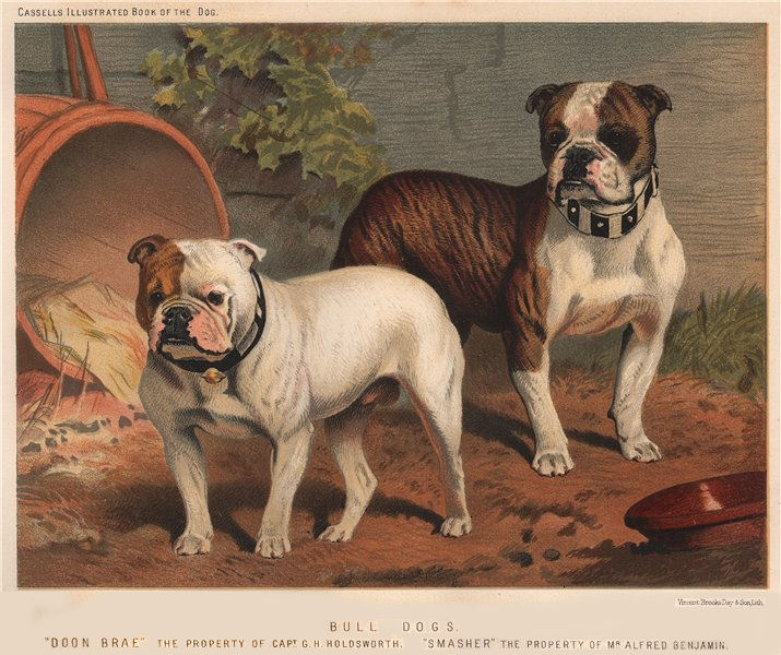 """Associate Product DOGS. Bull-Dogs; """"Doon Brae"""" 1881 old antique vintage print picture"""