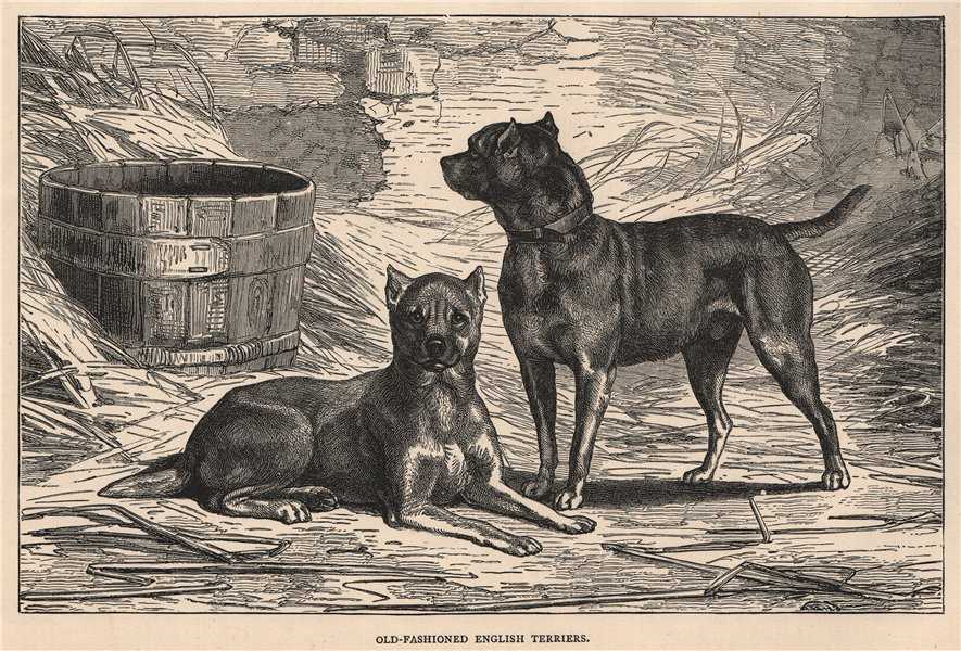 Associate Product DOGS. Old-Fashioned English Terriers 1881 antique vintage print picture