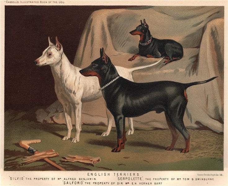 """Associate Product DOGS. English Terriers; """"Silvio"""" 1881 old antique vintage print picture"""