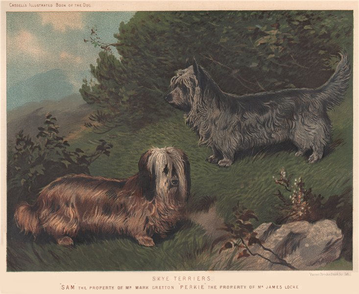 """Associate Product DOGS. Skye Terriers; """"Sam"""" 1881 old antique vintage print picture"""