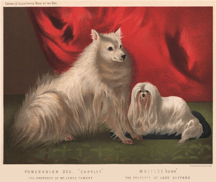 "DOGS. Pomeranian Dog. ""Charley"" 1881 old antique vintage print picture"