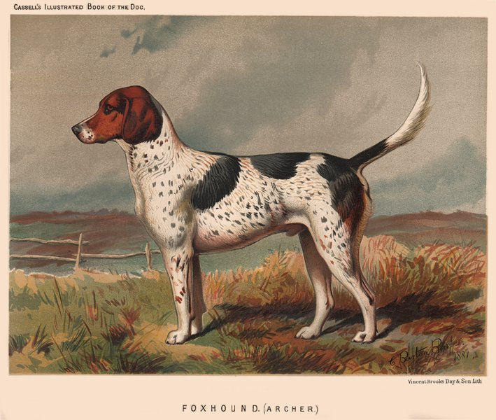 Associate Product DOGS. Foxhound. (Archer) 1881 old antique vintage print picture