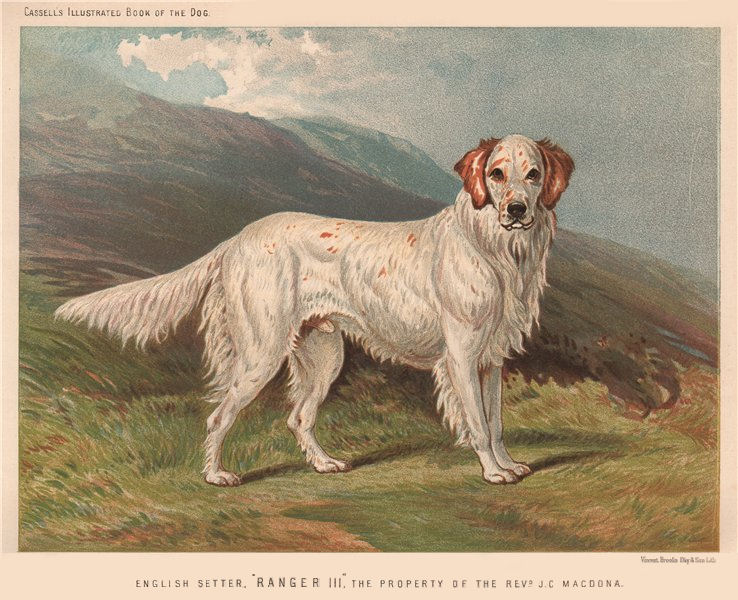 """Associate Product DOGS. English Setter, """"Ranger III"""", 1881 old antique vintage print picture"""