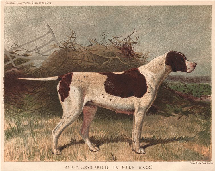 """Associate Product DOGS. Mr. R.T. Lloyd Price's Pointer """"Wagg"""" 1881 old antique print picture"""