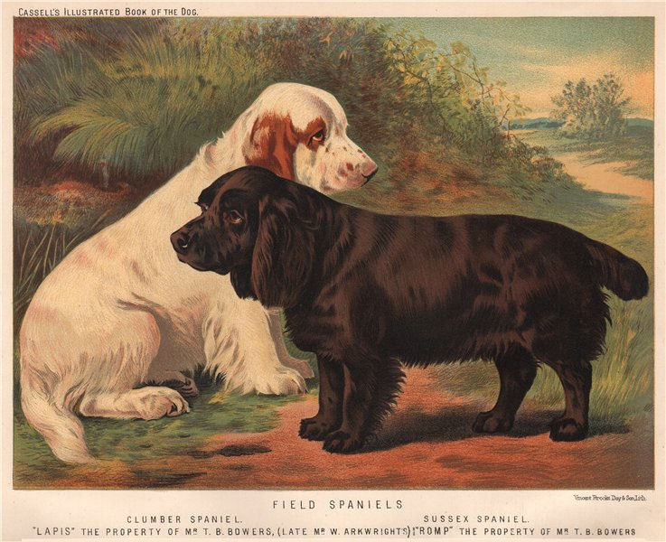 """Associate Product DOGS. Field Spaniels; Clumber Spaniel; Sussex Spaniel; """"Lapis"""" & """"Romp"""" 1881"""