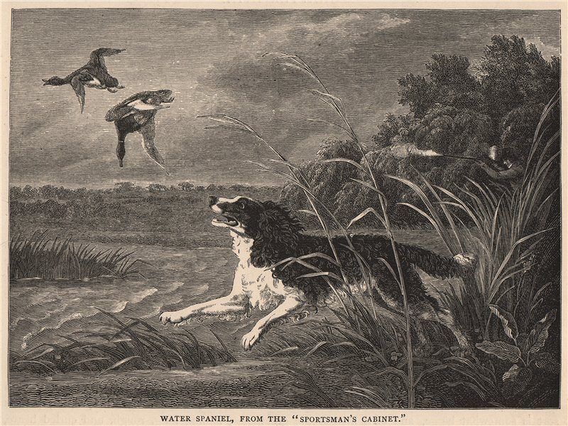 """Associate Product DOGS. Water Spaniel, from The """"Sportsman's Cabinet"""" 1881 old antique print"""