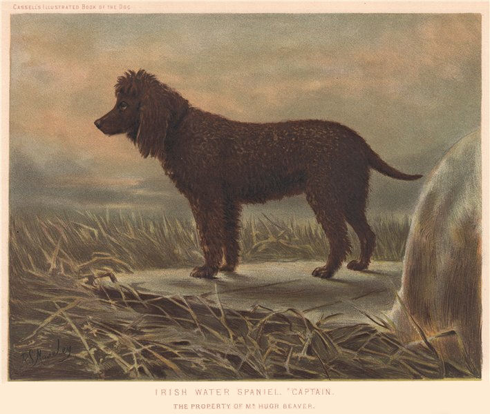 """Associate Product DOGS. Irish Water Spaniel. """"Captain"""" 1881 old antique vintage print picture"""