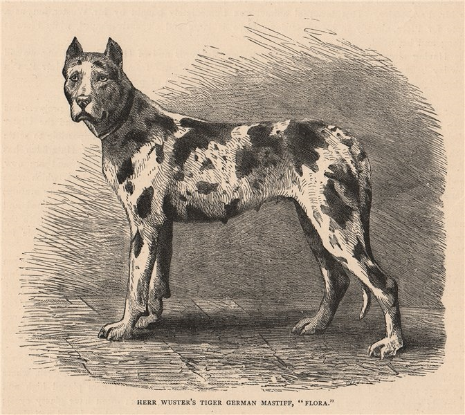 """Associate Product DOGS. Herr Wuster's Tiger German Mastiff, """"Flora"""" 1881 old antique print"""