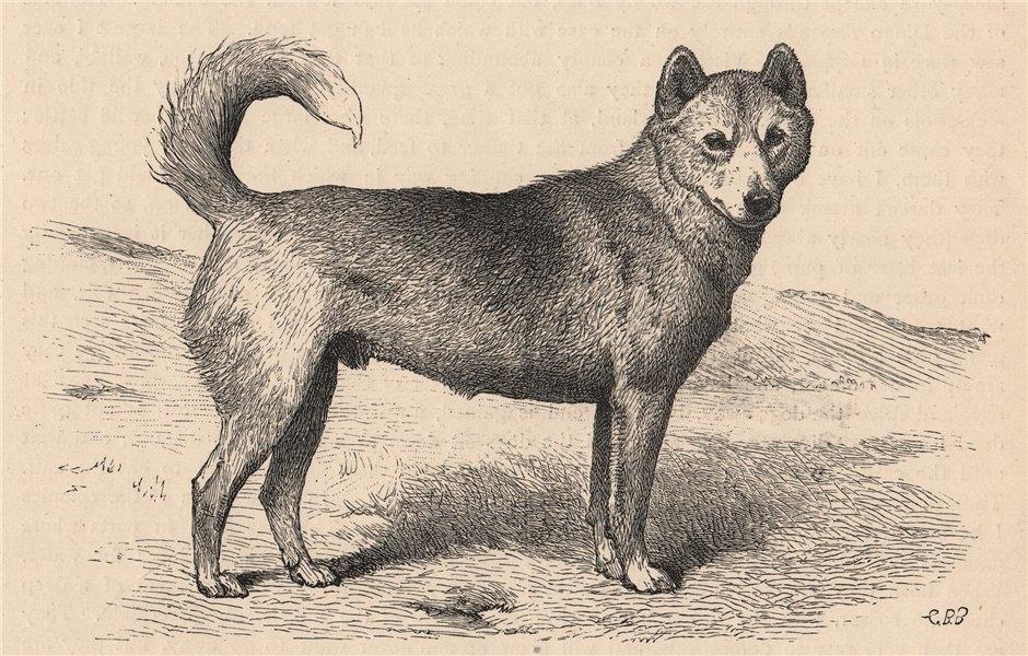 """DOGS. Dingo """"Lupus"""" 1881 old antique vintage print picture"""