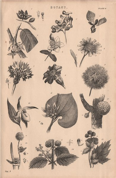 Associate Product Botany. Types of flower IV 1880 old antique vintage print picture