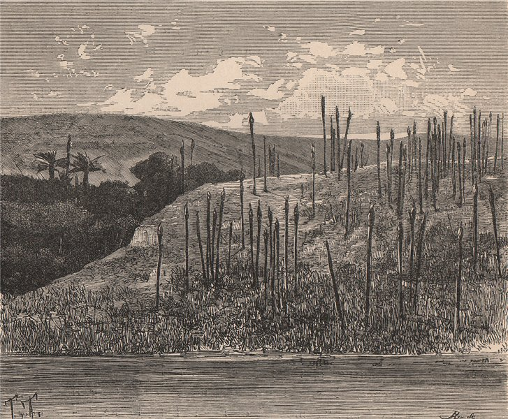 Associate Product Dead Trunks of Palms near M'suala, on the Congo. Congo Basin 1885 old print