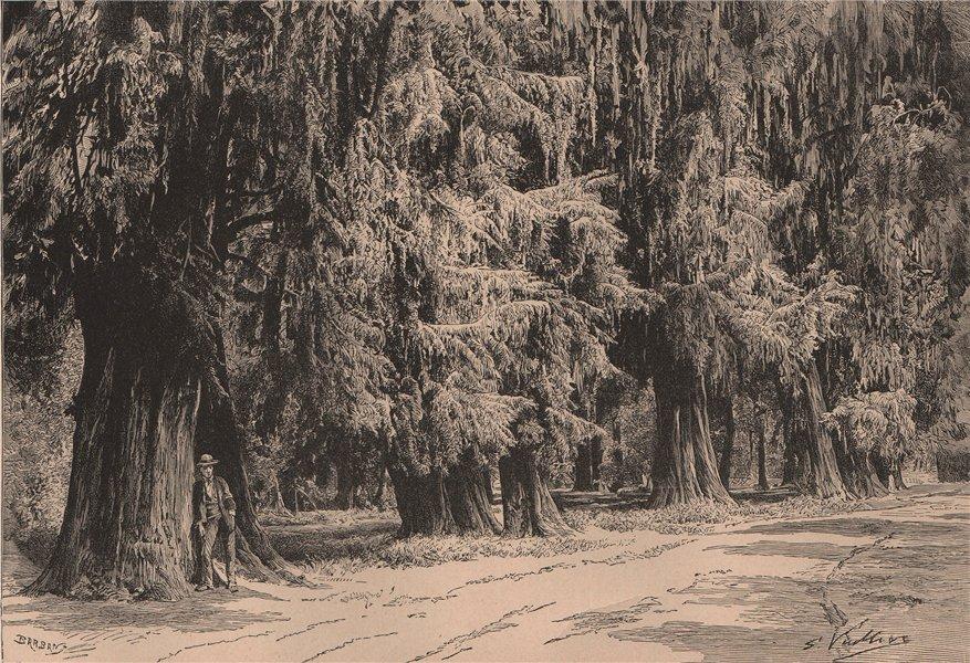 Associate Product The Montezuma cypress trees in Bosque de Chapultepec in Mexico city 1885 print