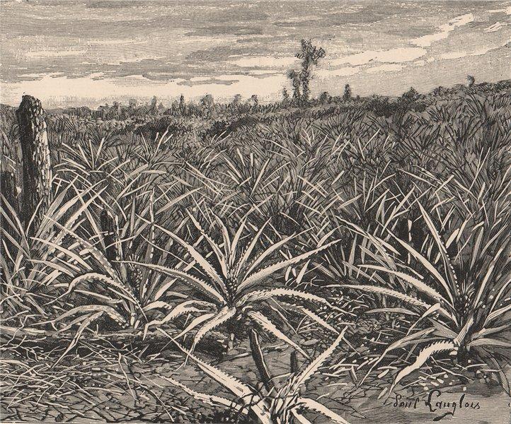 Associate Product Plantation of Pineapples. Cuba 1885 old antique vintage print picture