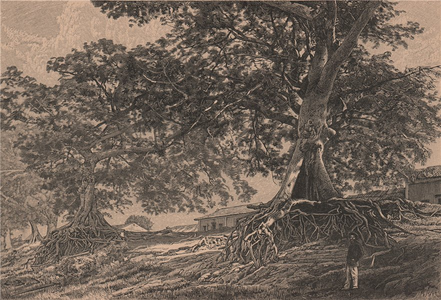 Associate Product Ceiba trees near Bolivar, Venezuela 1885 old antique vintage print picture