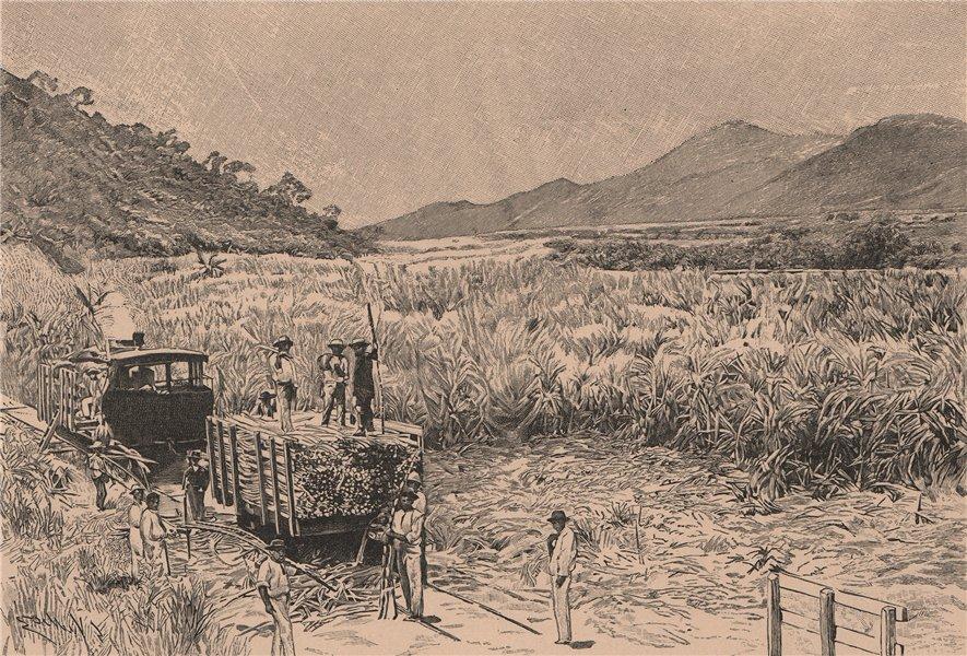 Associate Product Sugar Harvest. Brazil 1885 old antique vintage print picture