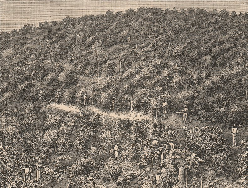 Associate Product Coffee Plantations. Brazil 1885 old antique vintage print picture