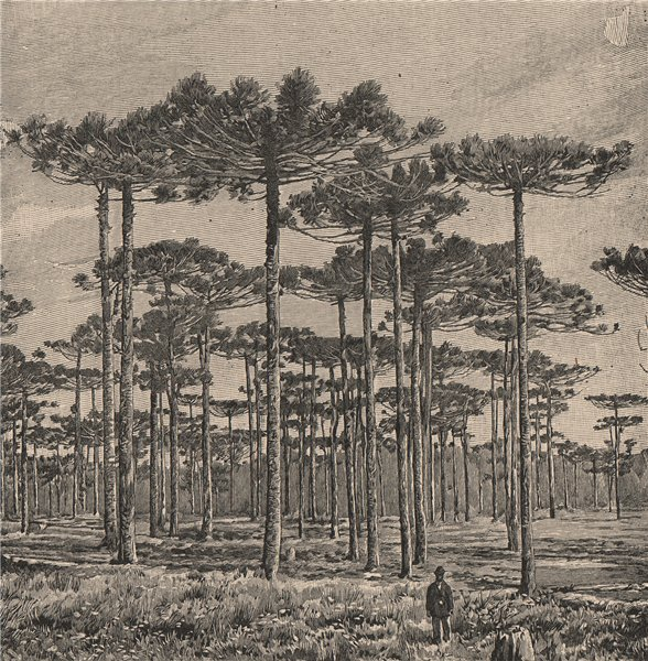 Associate Product Group of Araucaria trees - state of Sao Paulo. Brazil 1885 old antique print