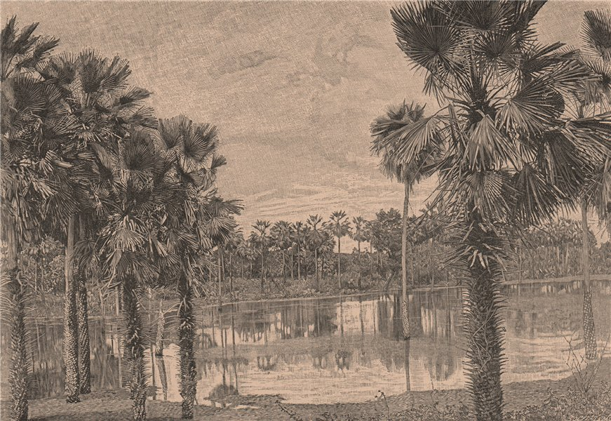 Associate Product Carnauba Palms. Brazil 1885 old antique vintage print picture