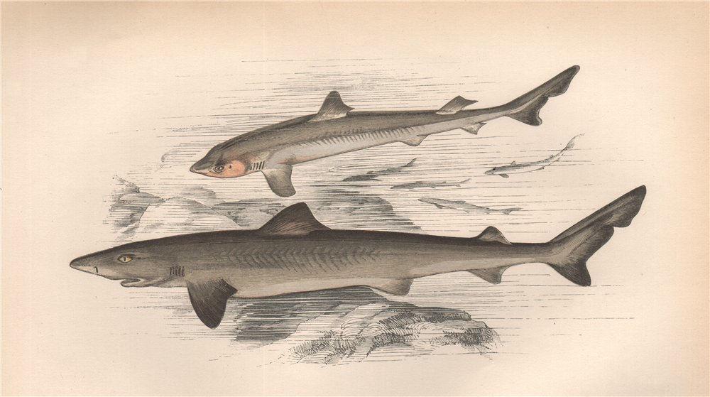 Associate Product SCHOOL SHARK Galeorhinus galeus tope/toper/soupfin/snapper shark COUCH Fish 1862