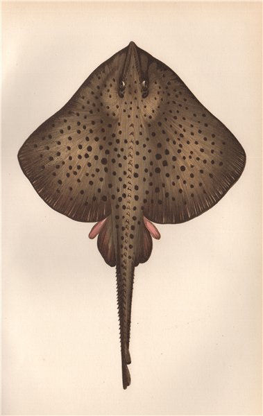 Associate Product SPOTTED RAY. Homlin. Taily; Raia oxyrinque/miraletus/maculata. COUCH. Fish 1862