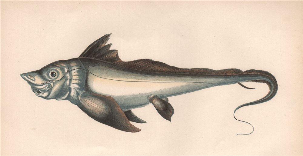 Associate Product RABBIT FISH. Chimaera monstrosa, Rat Fish, Arctic Chimaera. COUCH 1862 print