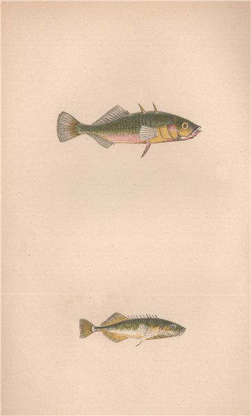 Associate Product THREE & NINE-SPINED STICKLEBACK. Gasterosteus aculeatus. COUCH. Fish 1862