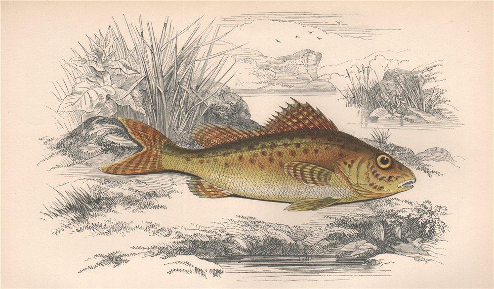 Associate Product EURASIAN RUFFE. Ruffe, pope, Gymnocephalus cernua. COUCH. Fish 1862 old print