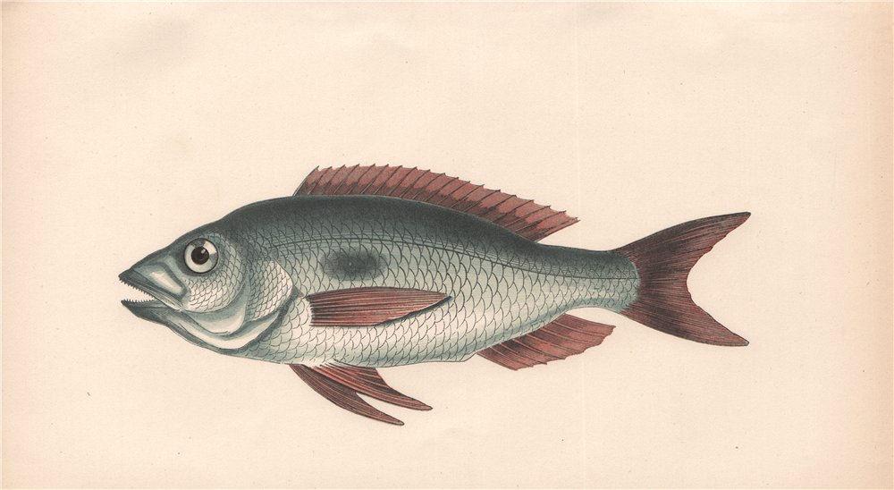 BLOTCHED PICAREL. Mendole, Spicara maena. COUCH. Fish 1862 old antique print
