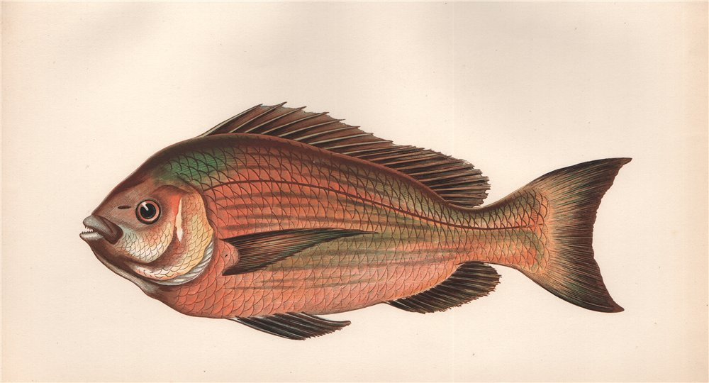 Associate Product BLACK SEA BREAM. Old Wife. Spondyliosoma cantharus. COUCH. Fish 1862 print