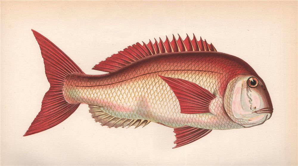 Associate Product COUCH. Fish'S SEA BREAM. Pagrus orphus, Pogellus Rondeletii. COUCH. Fish 1862