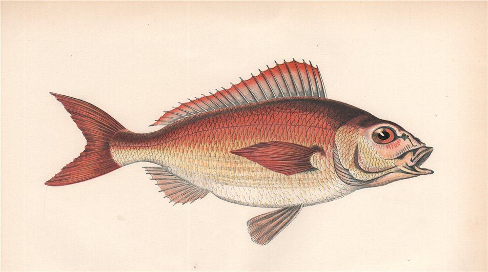 SPANISH SEA-BREAM. Pagellus acarne, Axillary sea-bream. COUCH. Fish 1862 print