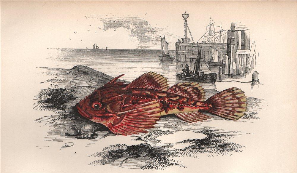 Associate Product LONGSPINED SEA-SCORPION. Taurulus bubalis, Longspined bullhead. COUCH. Fish 1862