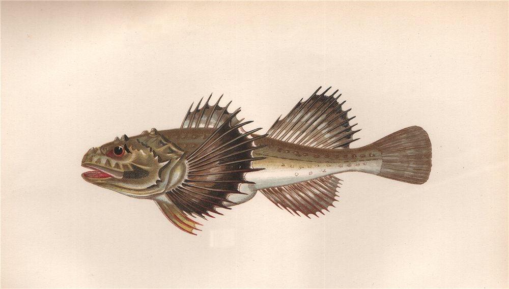 Associate Product FOUR-HORNED COTTUS. Cottus Quadricornis, Cotte Quotrecornis. COUCH. Fish 1862