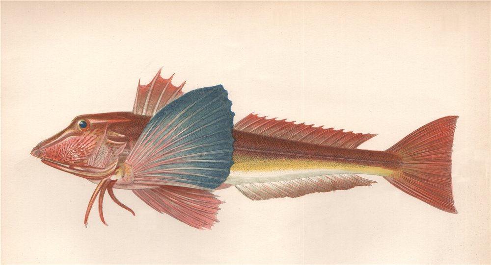 Associate Product TUBFISH. Sapphirine Gurnard, Trigla hirundo, Trigle hirondelle. COUCH 1862