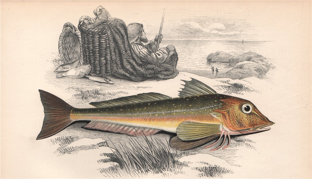 GREY GURNARD. Eutrigla gurnardus, Crooner, Croonack, Gowdie. COUCH. Fish 1862