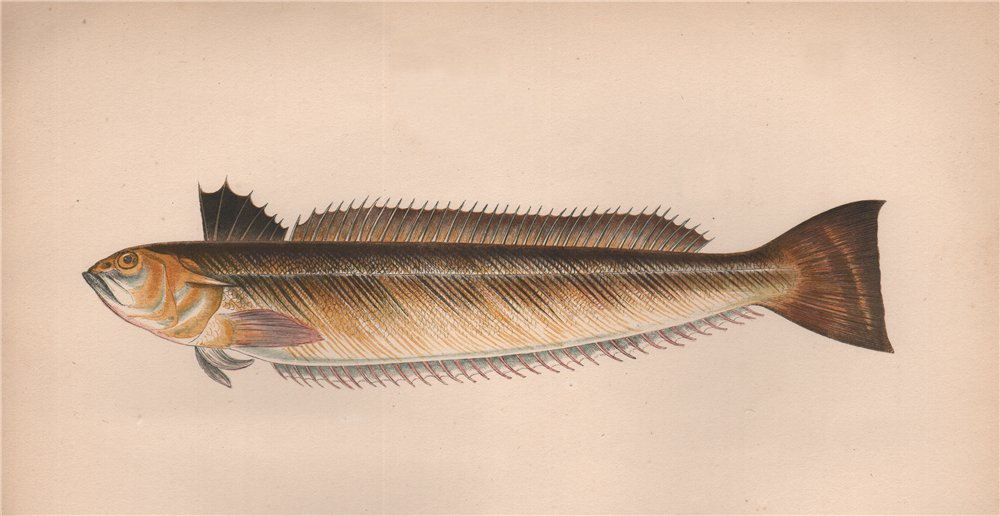 Associate Product GREATER WEEVER. Sting-Bull, Catfish, Trachinus draco. COUCH 1862 old print