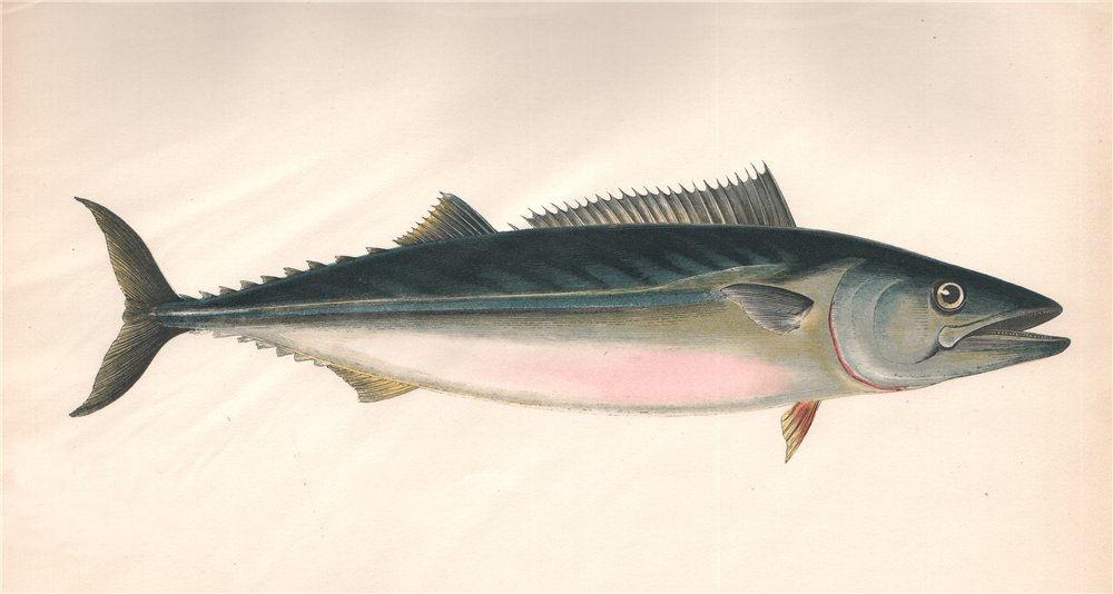 Associate Product ATLANTIC BONITO. Sarda sarda, Pelamid. COUCH. Fish 1862 old antique print