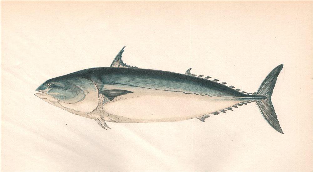 Associate Product PLAIN BONITO. Scomber de Laroche/Rochei/bisus, Auxis Vulgaris. COUCH. Fish 1862