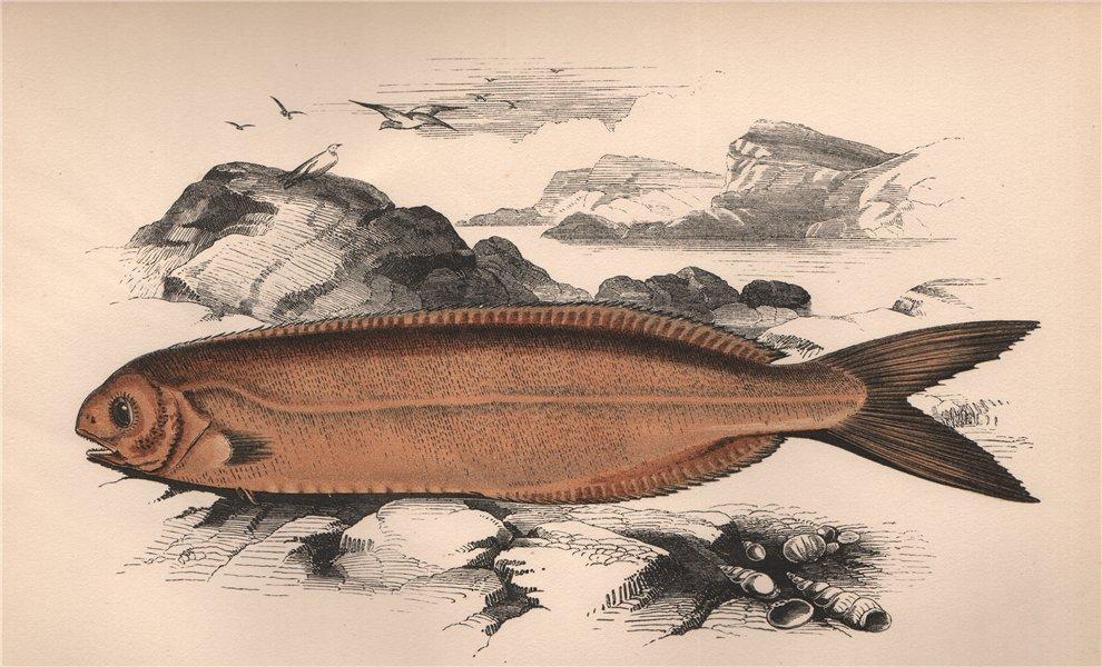 Associate Product CORNISH BLACKFISH. Schedophilus medusophagus, Cornish Centrolophus. COUCH 1862