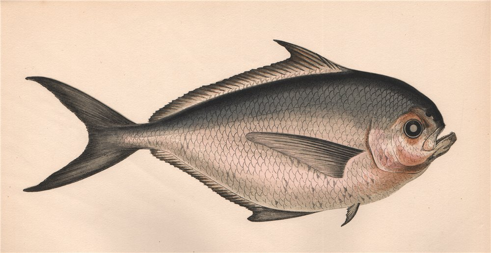 Associate Product RAY'S BREAM. Brama brama, Atlantic Pomfret. COUCH. Fish 1862 old antique print
