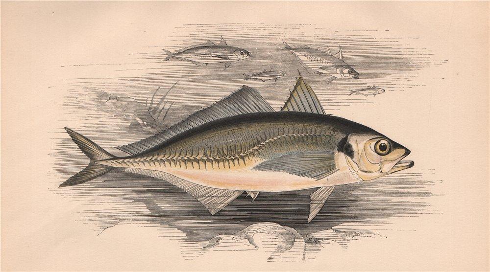 Associate Product ATLANTIC HORSE MACKEREL Trachurus trachurus Scad crake-herring COUCH Fish 1862