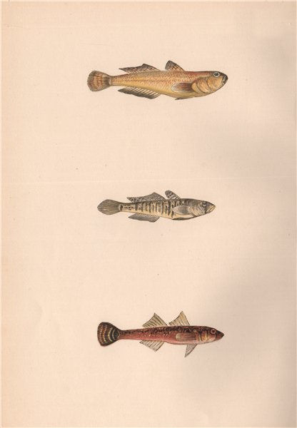 Associate Product GOLDEN SAND & TWO-SPOT GOBY Gobius auratus minutus & flavescens COUCH Fish 1862